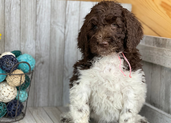 SOLD Misty-pink collar female labradoodle