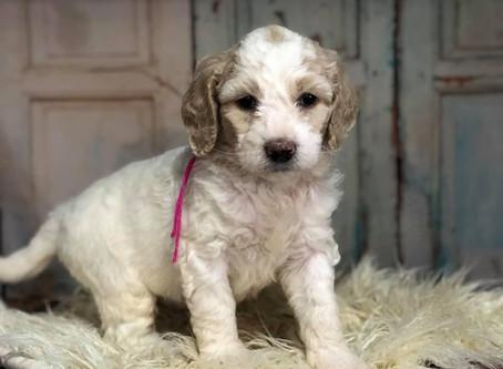 F1b Miniature English Moyen Goldendoodle pups
