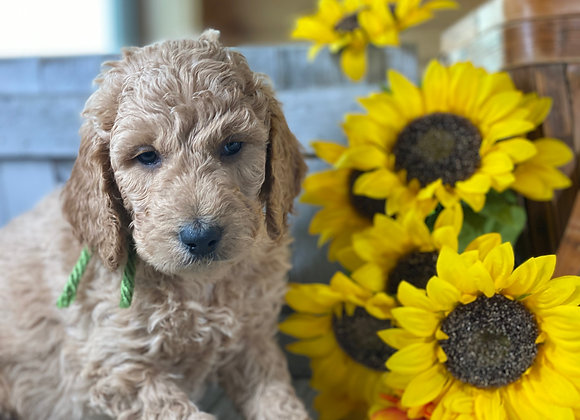 *SOLD - Tango - Lime Green male - miniature English Goldendoodle