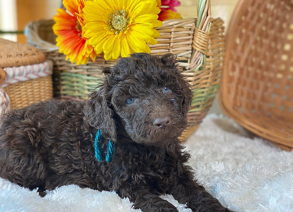 *SOLD - Taurus - teal collar male labradoodle