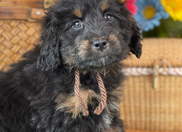 SOLD Storm- Brown collar female F1 Miniature Bernedoodle