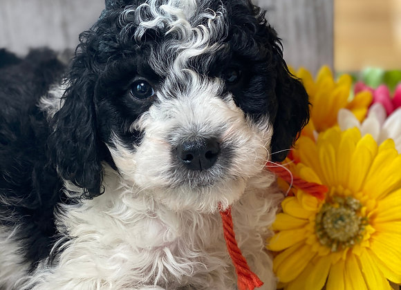 **SOLD**Teddy (male) miniature bernedoodle