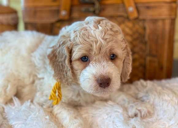 SOLD - Gus Jiles - Yellow collar, Parti color, male, miniature labradoodle