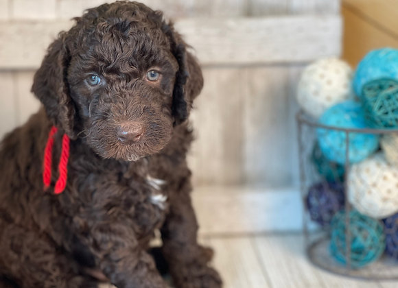 SOLD - Rubble - Male, red collar, miniature labradoodle