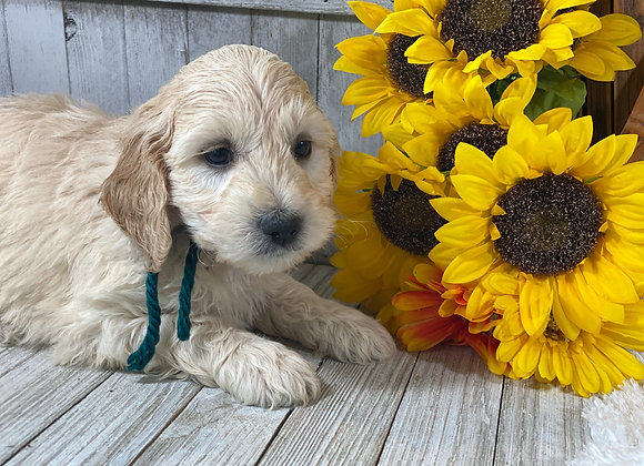 *SOLD - Delta - Teal collar male - Miniature English Goldendoodle
