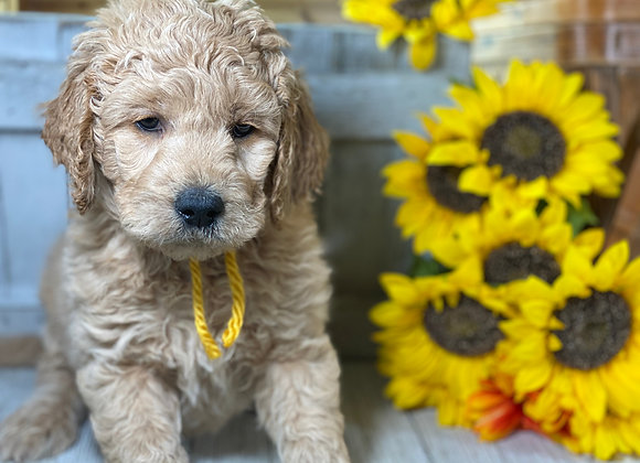*SOLD - Elvis - Yellow collar male - Miniature English Goldendoodle