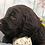 Thumbnail: Standard size Labradoodle pups