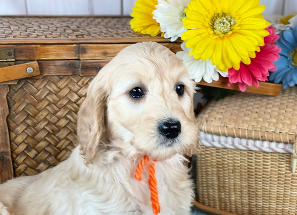 SOLD Opal- Orange collar  female - miniature English Goldendoodle