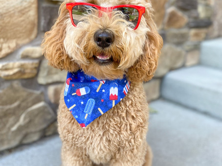 Happy4th of July!! Just got these adorable pics from Chesney the miniature English Goldendoodle