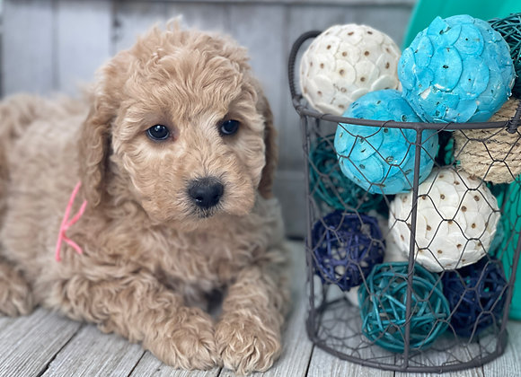 SOLD Ivory- Pink collar female F1b Miniature English Goldendoodle