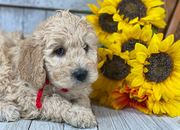 *SOLD - Romeo - red collar male - Miniature English Goldendoodle
