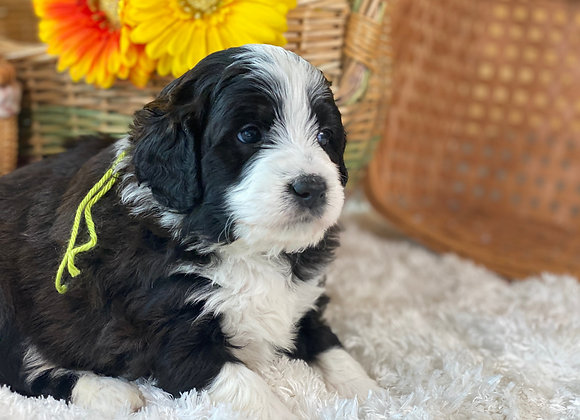 **SOLD**Lucky (male) miniature bernedoodle