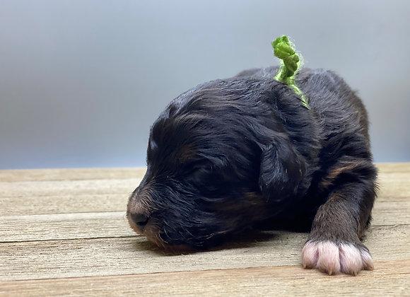 Clay - Light green collar male F1 Miniature Bernedoodle