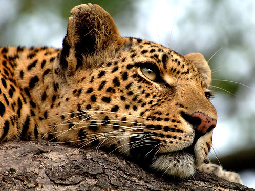Relaxed Leopard Note Card