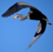 07May2017-Heron1.jpg