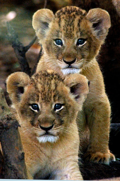 Lion Cubs Note Card