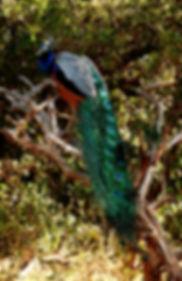 23February2018-PeacockSriLanka9.jpg