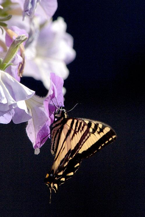 Sweet Pea & Butterfly