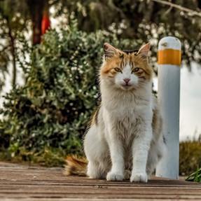 Le sida du chat