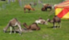 Circus Probst - Kamele & Dromedarte - Tierhaltung