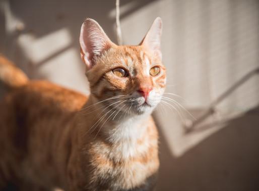 אקלום חתול חדש בבית