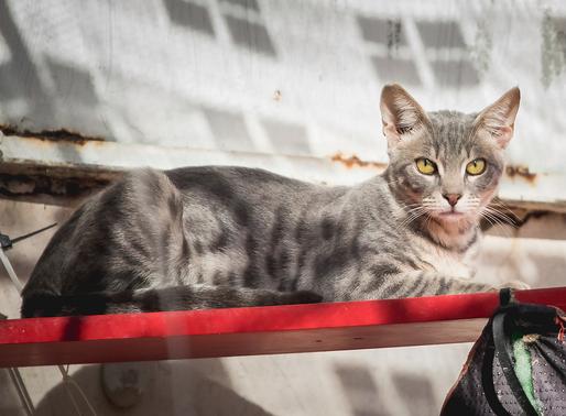 סירוס חתולים ועיקור חתולות