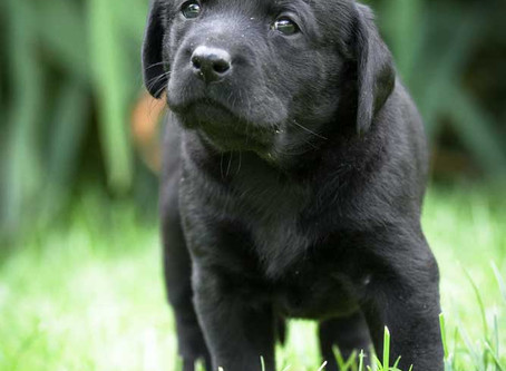 Selecting a puppy
