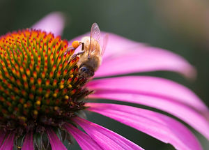 Bee and Cone Flower I
