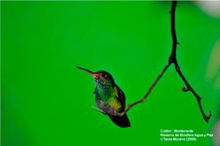 Colibri - Monteverde