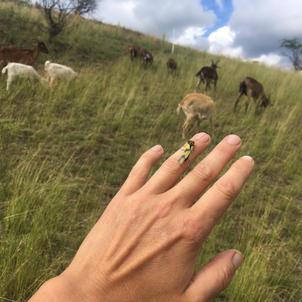 ploskoroh pestrý a kozy