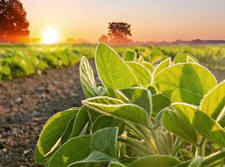 Como a radiação luminosa interfere na arquitetura de plantas da soja?