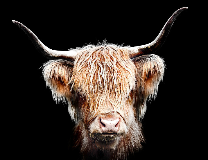 Highland Cow head art photo ©Starfish Photos | Michele Newman Photographer