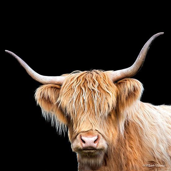 photo highland cow head cattle ©starfish photos Michele Newman photographer