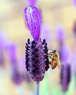 Honey bee on lavender square-1.jpg