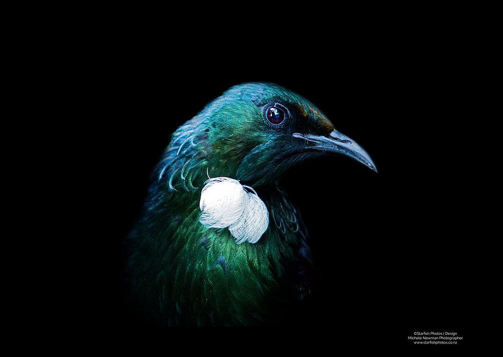 New Zealand Tui Bird head photo.jpg