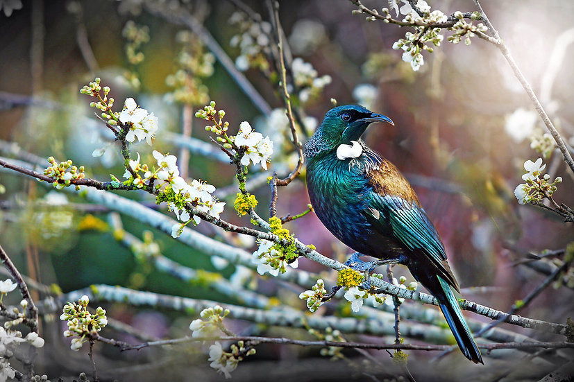 Tui bird New Zealand in blossom tree ©Starfish Photos | Michele Newman Photographer