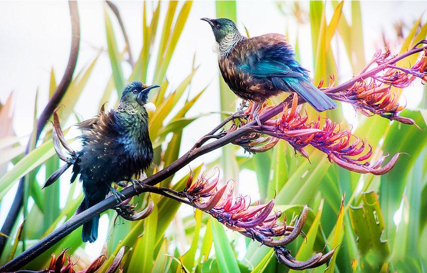 Tui bird New Zealand in the flax ©Starfish Photos | Michele Newman Photographer