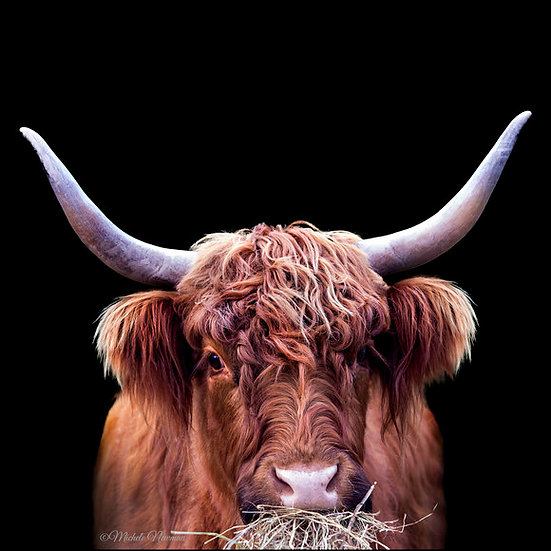 Photo highland cow calf cattle ©starfish photos Michele Newman photographer