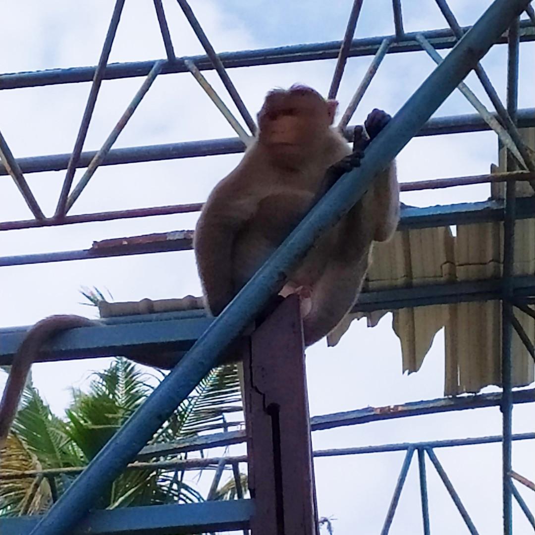 קופים בוורקלה דרום הודו
