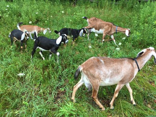 Take a goat hike!