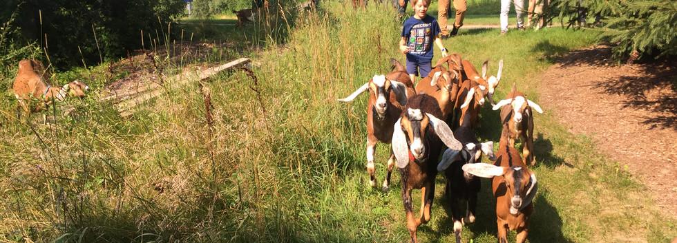 Goats Running