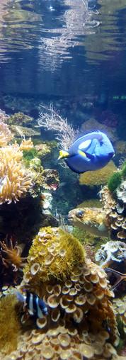 Paletten-Doktorfisch, findet Dori ;-)