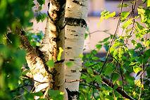 pixabay_birch-2539128_1920_edited.jpg