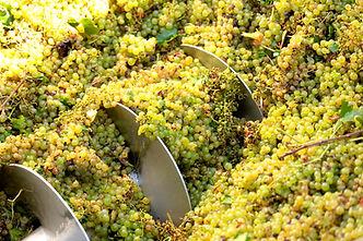 vino uva pigiato