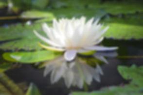 The beautiful white lotus flower or wate