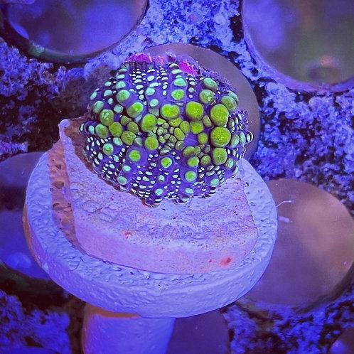 Lava Lamp Mushroom