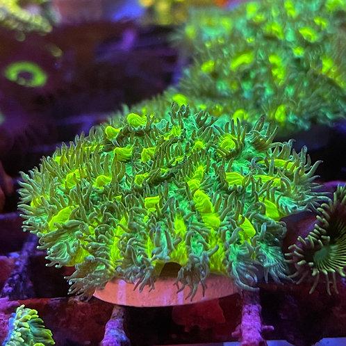 Lime Light Hydnophora