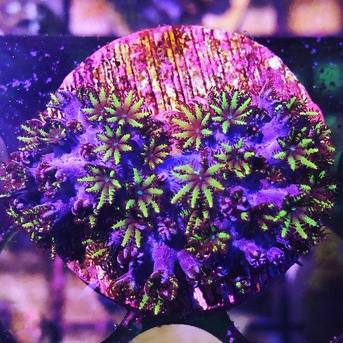 Blue Sympodium Coral