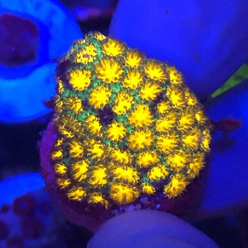 Honeycomb Leptastrea