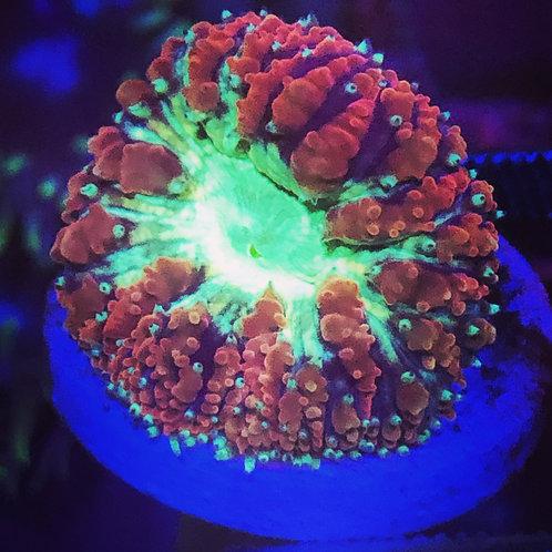 Neon Green Center Blastomussa